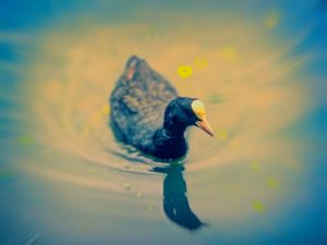 A coot sat on the water with light shining off the water.