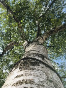 A picture of a silver birch tree taken looking up the trunk to the green leaves and glimpses of sky